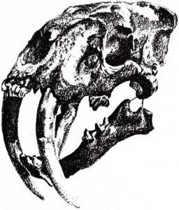 sabertooth-tiger-skull